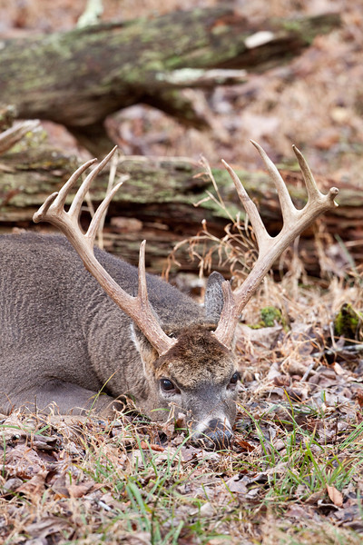 White-tailed buck resting.