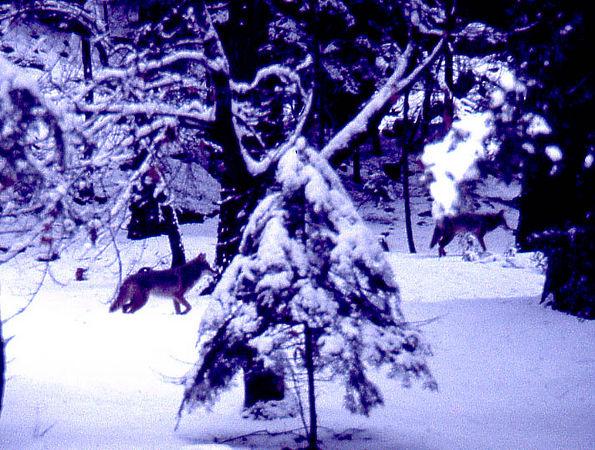 coyote yosemite.jpg