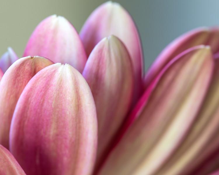 gerbera-petals.jpg