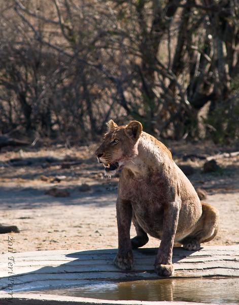 lion (26).jpg