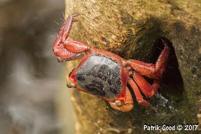 Red Mangrove Crab