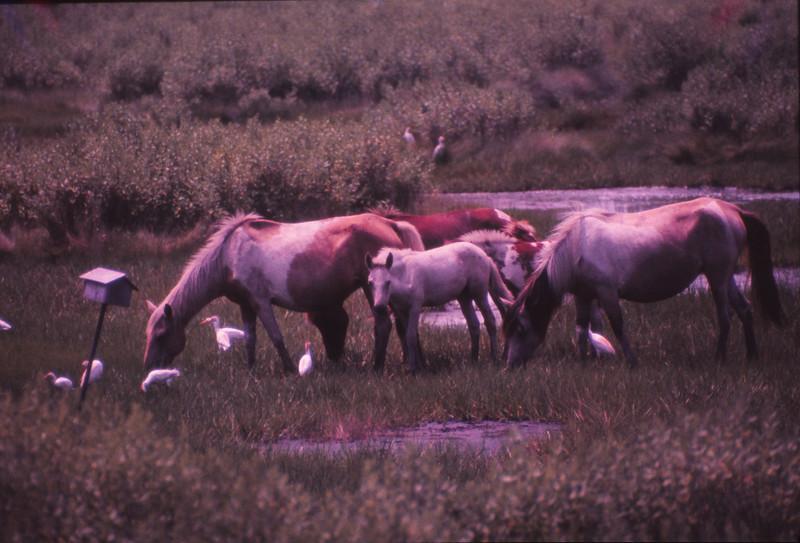 Chincoteague 1981-07 016.jpg
