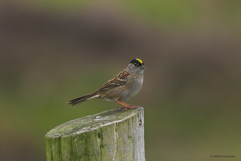 Golden-crowned Sparrow, caught on the north-central Oregon coast
