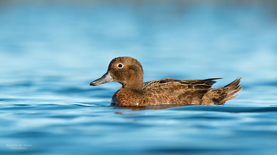Brown Teal (Anas chlorotis)