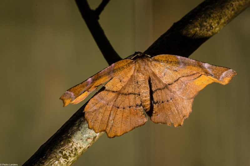 September Thorn Moth
