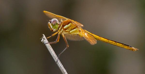 Golden-winged Skimmer