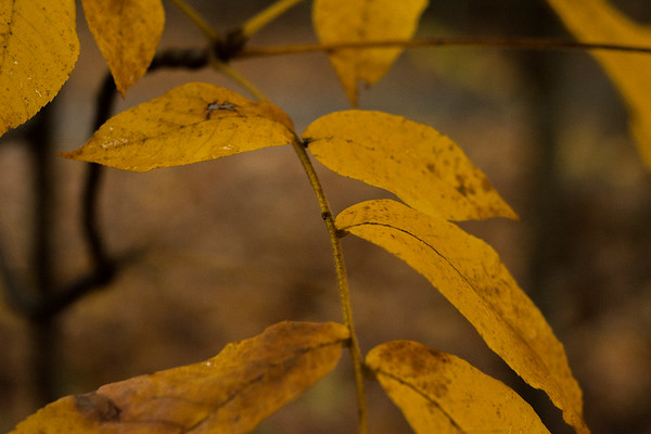 autumn gold rush