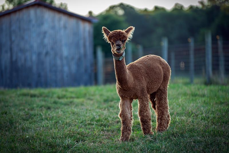 Tan Alpaca barn_DSC2753b.jpg