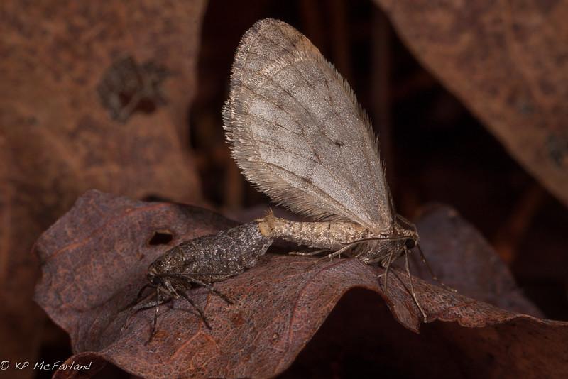 Bruce Spanworm (Operophtera bruceata)