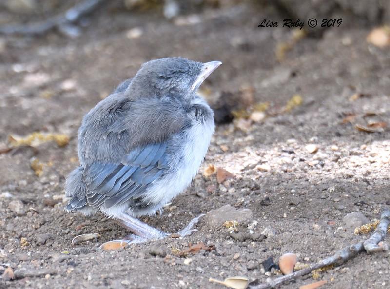 Western Scrub Jay (must hvae fallen out of nest)  - 5/15/2019 - Kitchen Creek, Cibbet Flats Campground