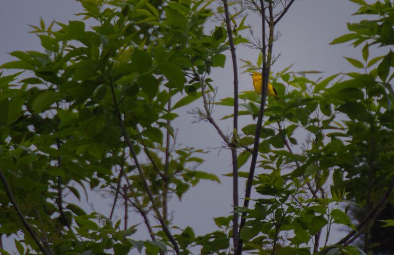 5.4.17 - Beaver Lake Fish Nursery: Yellow Warbler