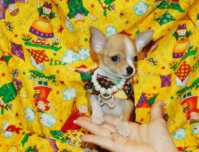 ^ CLICK HERE ^ To See SOLD SELECT PUPPIES  From Celebrity Bloodlines & X-TRA TINY # 1
