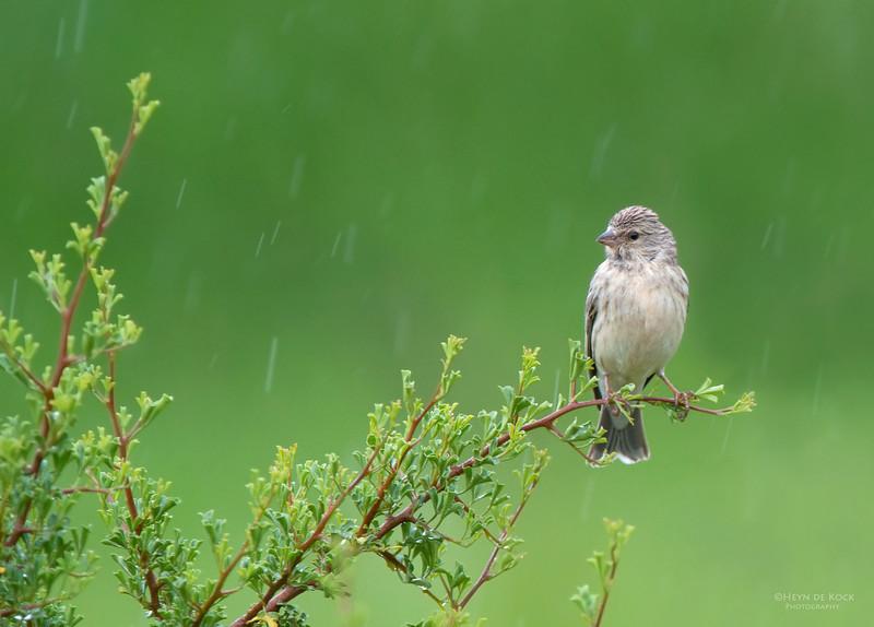 Black-throated Canary, Hobhouse, FS, SA, Dec 2013.jpg