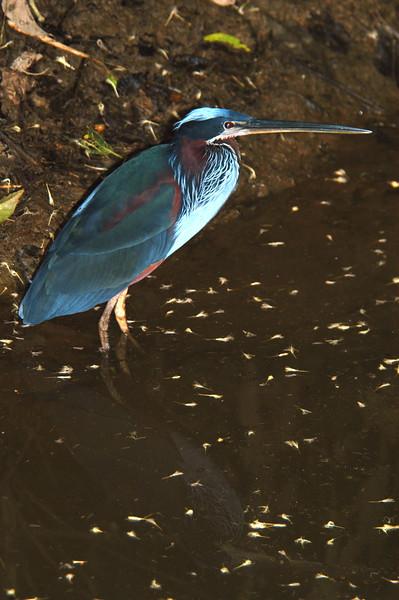 Heron Costa Rica