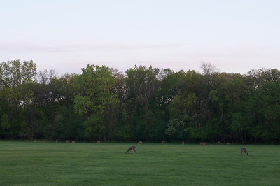Spring Fawn at Twilight