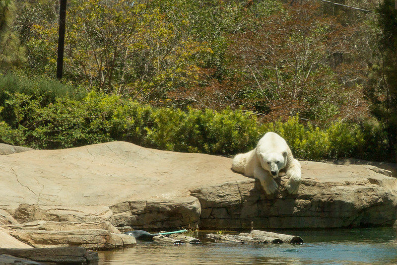 polar bear (13 of 50).jpg