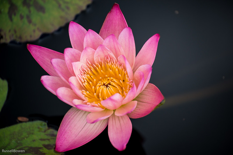 Pink Water Lily 1-1.jpg