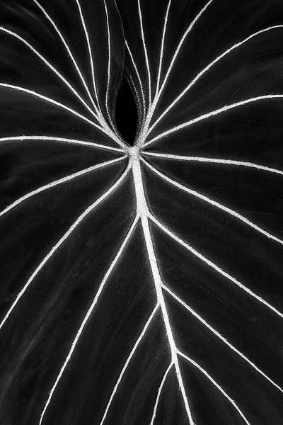 Sarah-Marino-BW-Leaf-Veins-1200px.jpg