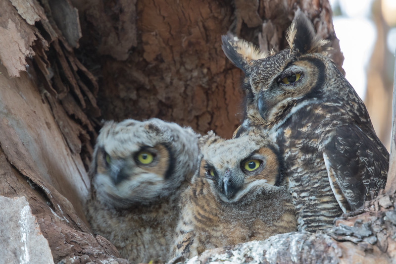 Great Horned Owl - Cupertino, CA, USA