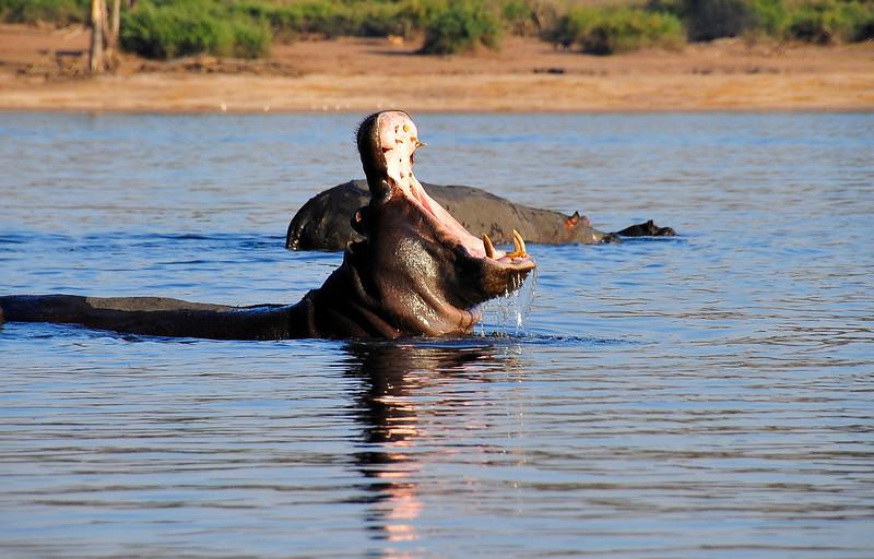EPV0301 Hippo Yawn.jpg