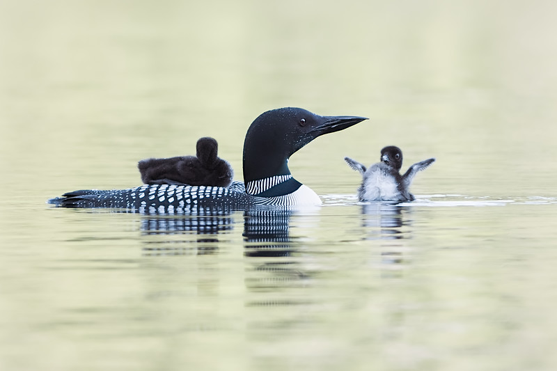 #1044 Common Loons