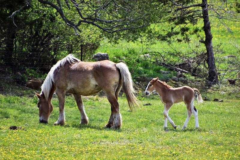 Amish Belgian horses- Dalton Roper.jpg