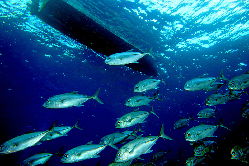 Bigeye Trevally and boat
