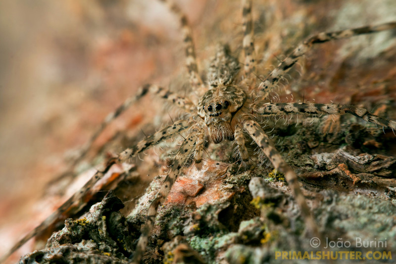 Details of a flat spider against tree bark