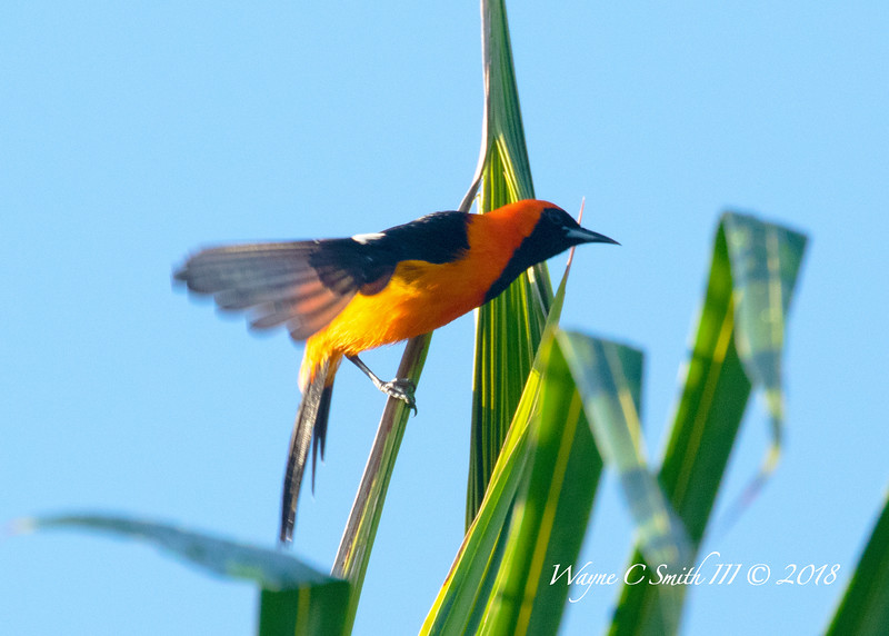 Hooded Oriole Landing on Tall Palm