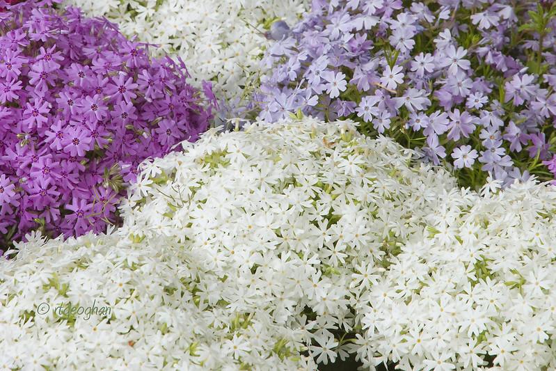 Flowers_Phlox-LavenderWhite_0467cropped.jpg