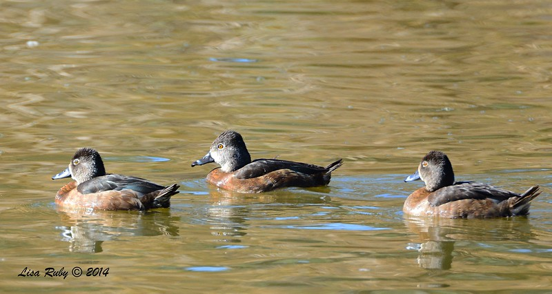 Female Ring-necked Ducks  - 12/14/2014 - Poway Pond