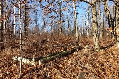 Hinckley power line trees