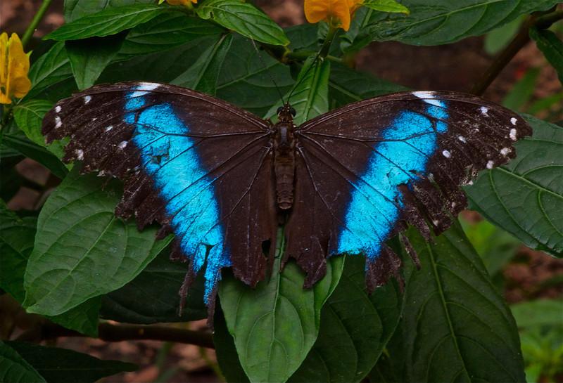 Blue Morpho Butterfly (Lepidoptera Morphidae)