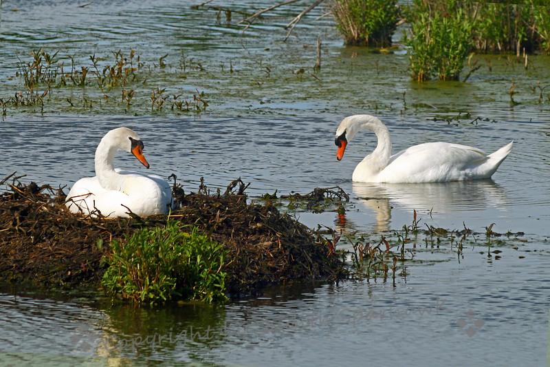 Nesting Mute Swans.jpg