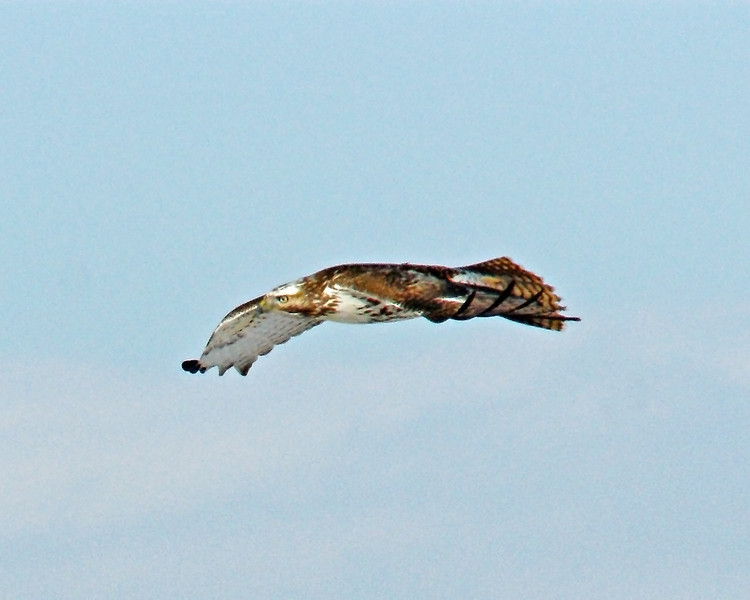 Red tailed Hawk OB 30.jpg