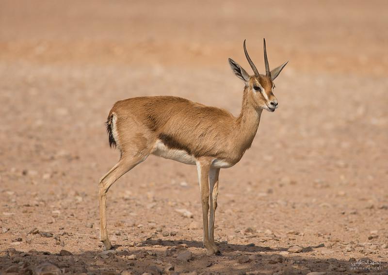 Gazelle (2).jpg