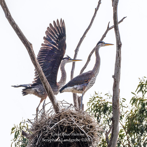 _DSC2296Great Blue Herons nest.jpg