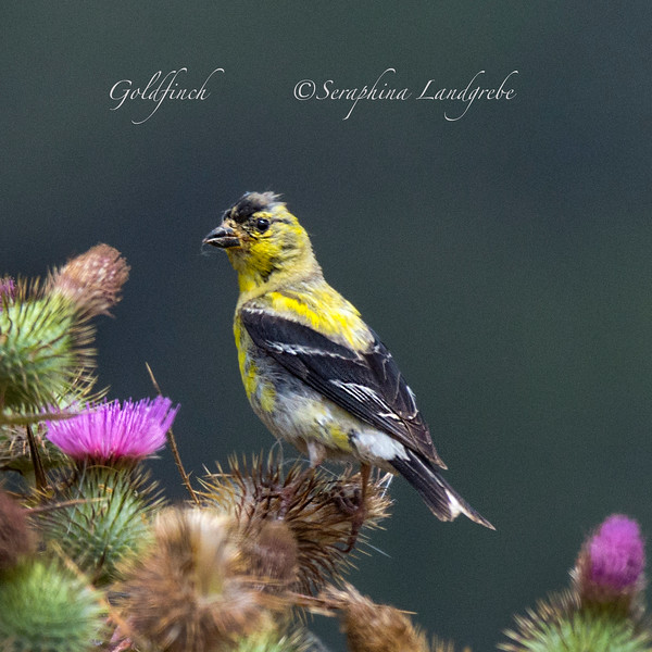 _DSC4569Goldfinch.jpg