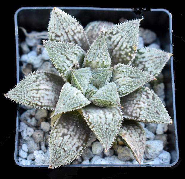 Haworthia Platinum