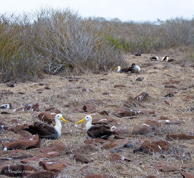 Albatross nesting area at Punta Suarez, Espanola Island