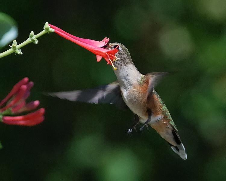 Rufous Hummingbird3.jpg
