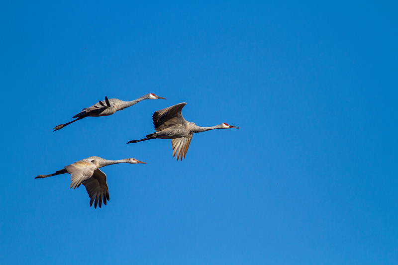 Sandhill Crane Sherburne National Wildlife Refuge Sherburne County MN IMG_5222.jpg