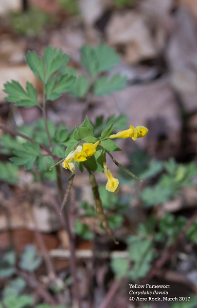 Yellow Fumewort.jpg