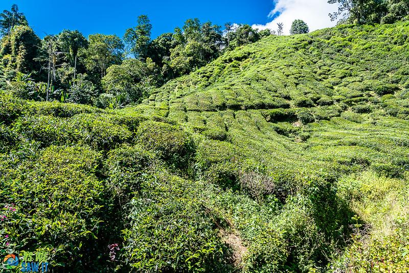 BOH-Tea-Plantation-08535.jpg
