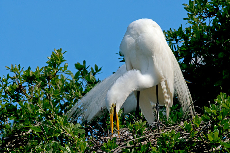 Great Egret Feeding Young Chick