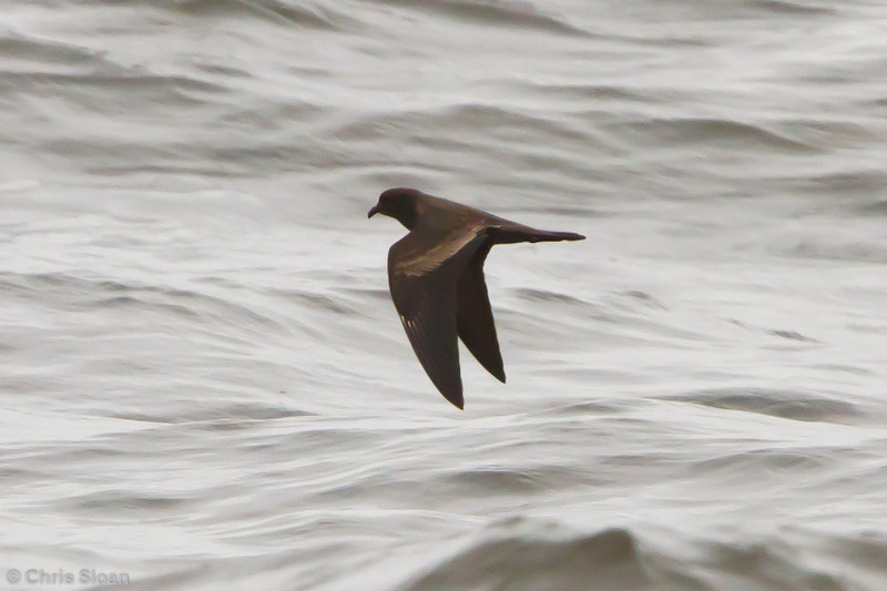 Black Storm-Petrel at pelagic out of Bodega Bay, CA (10-15-2011) - 168.jpg