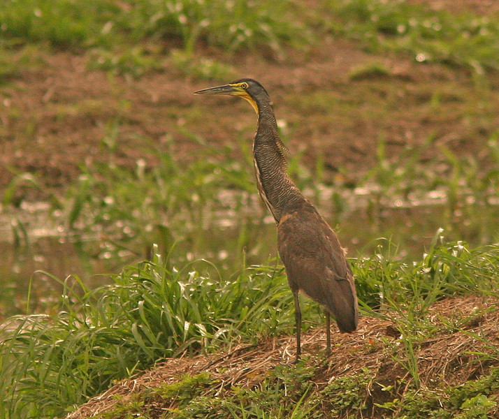 WB~ CR Bare-Throated Tiger Heron1280.jpg