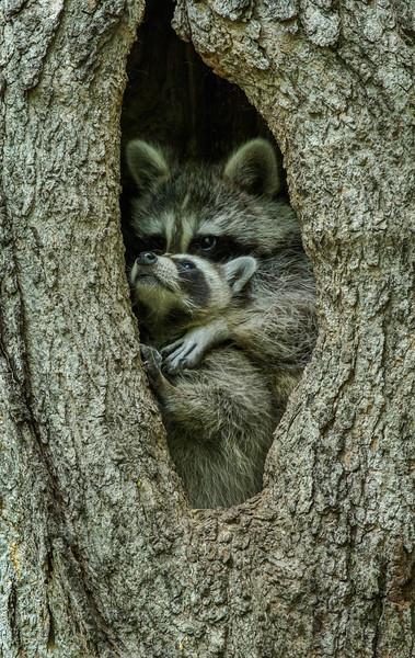 Peek a Coon Hug Complete.jpg