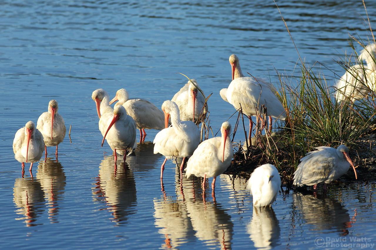 A Meeting of White Ibis