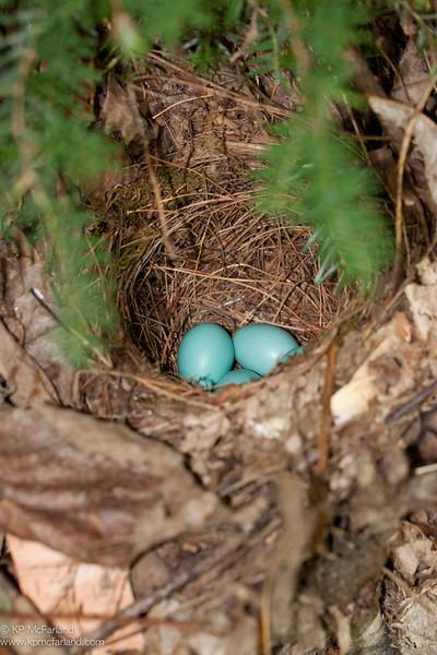 Hermit Thrush nest